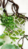 Green vines wrapped around the window. Park green vines wrapped around the window royalty free stock photography