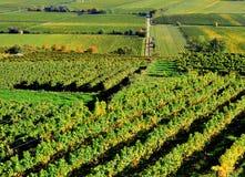 Green Vineyard Royalty Free Stock Photo