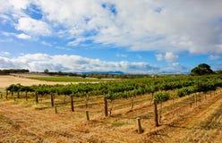 Green Vineyard stock photography