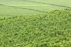Green vineyard Royalty Free Stock Photo