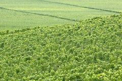Green vineyard. In summer in the Rheingau area, Hesse, Germany Royalty Free Stock Photo