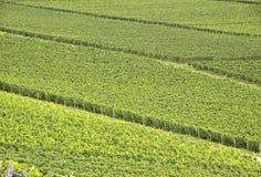 Green vineyard. In summer in the Rheingau area, Hesse, Germany Royalty Free Stock Images
