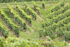 Green vineyard. In summer in the Rheingau area, Hesse, Germany Stock Image