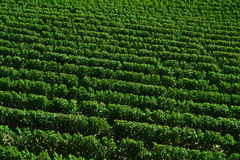 Green Vineyard Background Stock Images