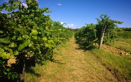 Nature and agriculture, vineyard. Green vineyard background: plant arrays Royalty Free Stock Image