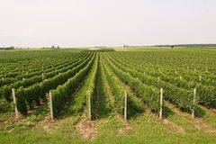 Green vineyard Royalty Free Stock Images