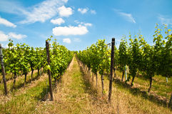 Green vineyard and blue sky viewed from below Royalty Free Stock Images