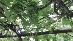 Green vineyard, close-up stock video