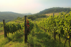 Green vineyard countryside Stock Images
