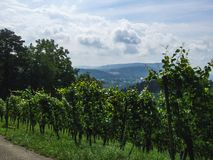 A green vineyard in the countryside of Villnachern royalty free stock photography