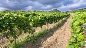 Green vineyard in Etna region in Sicily Stock Images