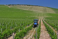 Green vineyard farming Stock Image