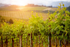 Green vineyard Stock Photography