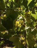 Green Vineyard Grapes Royalty Free Stock Images