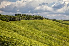 Green vineyard on hillside  Royalty Free Stock Image