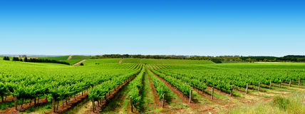 Green Vineyard Landscape Stock Photography