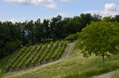 Green vineyard landscape in Italy Stock Photography