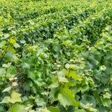 Green Vineyard landscape Stock Images