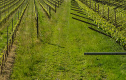 green vineyard landscape in spring time. Royalty Free Stock Images