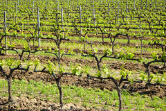Green vineyard Royalty Free Stock Photos