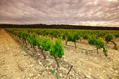 Green Vineyard Royalty Free Stock Image