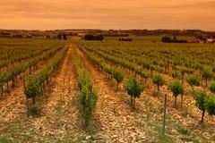 Green Vineyard. Orange Sky over Green Vineyard stock photos