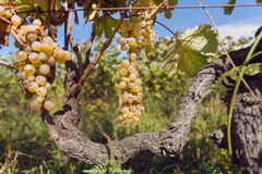 Green vineyard with organic grapes growing on sunny weather Stock Image