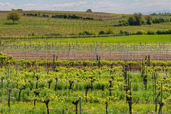Green vineyard Royalty Free Stock Photography