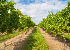 Green Vineyard Plantation Royalty Free Stock Photography