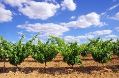 Green vineyard at  Portugal Royalty Free Stock Image