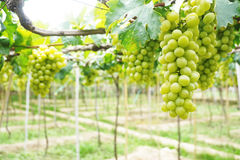The green vineyard is ripe. Royalty Free Stock Image