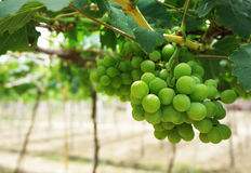 The green vineyard is ripe. Stock Photos