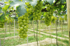 The green vineyard is ripe. Stock Photography
