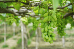 The green vineyard is ripe. Royalty Free Stock Photos