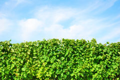 Green vineyard row detail with blue sky Royalty Free Stock Image