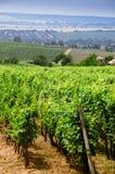 Green vineyard Royalty Free Stock Images
