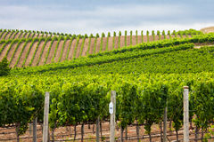 Green vineyard rows on rolling hills in Napa Valley California Royalty Free Stock Photos