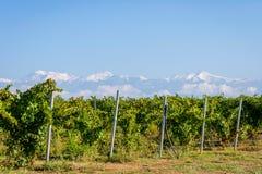 Green vineyard and snowy mountains behind, Azerbaijan Stock Photo