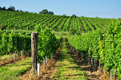 Green vineyard of south Moravia Royalty Free Stock Photo