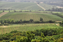 Green vineyard of south Moravia Stock Images