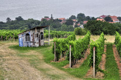 Green vineyard of south Moravia Stock Image
