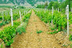 Green vineyard Stock Photos