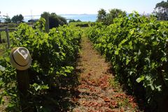 Vineyard in the summer. royalty free stock photography