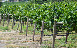 Green vineyard in summer Royalty Free Stock Photos