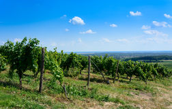 Green vineyard in Tokaj region in Hungary Stock Photo