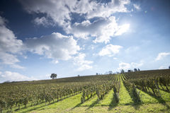 Green Vineyard Stock Image