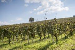 Green Vineyard Royalty Free Stock Photos
