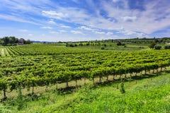 Green vineyard under blue sky Stock Photos
