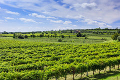 Green vineyard under blue sky Stock Image