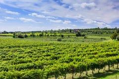 Green vineyard under blue sky Stock Image